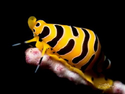 T I G E R Tiger Cowrie  (Cuspivolva tigris) by Lilian Koh