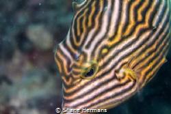 Whorls and Ridges Im drawn to this species of boxfish la... by Shane Hermans