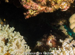 Scorpion Fish hiding under coral by Alexandra Caine