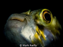 puffer fish portrait by Mark Reilly