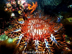 Killer of coral, Crown of thorns taken in the Komodo Isla... by Kris Davies