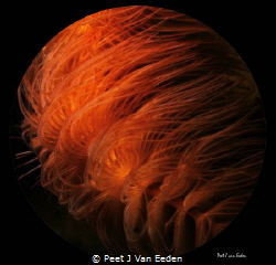 Flaming Tornado- the beauty of a tube worm by Peet J Van Eeden