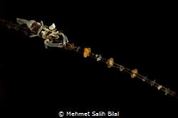 Wire coral commensal shrimp. by Mehmet Salih Bilal