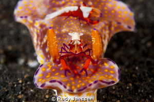 Emperor shrimp rides on a nudibranch by Rudy Janssen