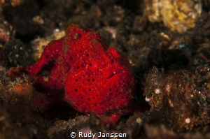 red frogh fish by Rudy Janssen
