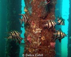 Schooling Old Wife Rapid Bay Jetty Rapid  South Australia by Debra Cahill