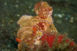 Nudi with eggs Lembeh Olympus 7070 by Brad Cox