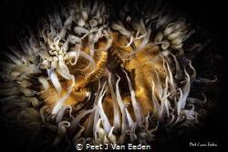 Mophead by Peet J Van Eeden
