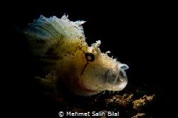 Leaf scorpionfish with snooted backlight. by Mehmet Salih Bilal