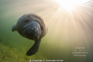 Manatee SunbeamsA swims under sunbeams just after sunrise. sunrise