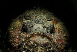 Hiding in the dark  Stone fish (Synanceia verrucosa) F... by Mr Chai