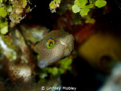 Sharpnose Puffer by Lindsey Mobley