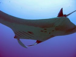 more of manta encounters by Gordana Zdjelar