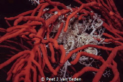 A three dimensional view of a basket star by Peet J Van Eeden