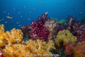 A soft coral garden in Raja Ampat, Indonesia by Tracey Jennings