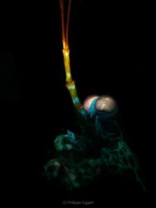 Mystic - Man Mantis shrimp by Philippe Eggert