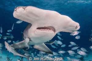 A big Hammerhead bursting through a cloud of fish in Bimini. by Jim Machinchick
