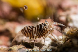 Bumble bee shrimp is hunting amphipods coming to dive lig... by Mehmet Salih Bilal