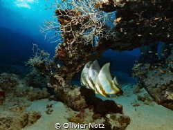 Batfishes at cleaning Station und a table coral by Olivier Notz