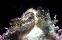 Sea Slugs Nikonos III 3:1 macro by Chris Kennedy