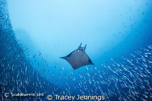 Mobula ray by Tracey Jennings