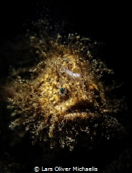 shock-headed golden hairy frogfish (snooted) by Lars Oliver Michaelis
