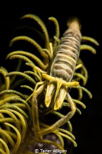 Crinoid Shrimp Portrait by Taner Atilgan