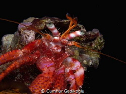 Dardanus calidus One of the hermit crab from my hermit f... by Cumhur Gedikoglu