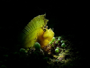 Yellow phase - Leaf Scorpion Fish, Anilao, Philippines by Marylin Batt