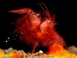 Chicken hairy shrimp. Taken at Tulamben,bali,indonesia.... by I Wayan Edalata