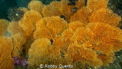 Yellow sea fan by Robby Quento