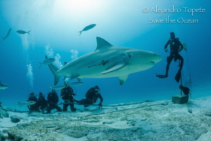 Bullshark in the Group, Playa del Carmen México by Alejandro Topete