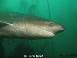 Sevengill Cowshark - a prehistoric shark that we are luck... by Kerri Keet