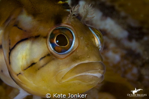 Klipfish at Steenbras Deep by Kate Jonker