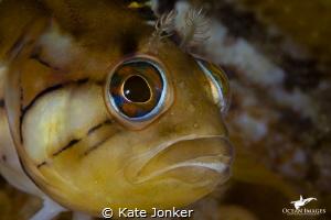 Klipfish at Steenbras Deep by Kate Jonker