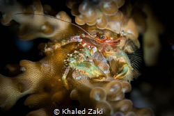 Coral Crab by Khaled Zaki