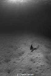 """""""Sand Traveler"""" Spotted Eagle Rays spend a lot of time c... by Chase Darnell"""