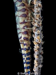 On the Wire  Sawblade Shrimp - Tozeuma armatum  Chalo... by Stefan Follows