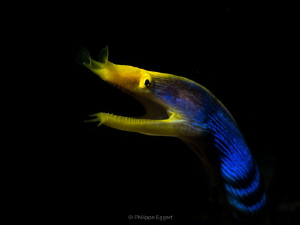 Ribbon eel in the spotlight by Philippe Eggert