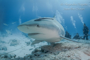 Close Encounter with Bullshark, Playa del Carmen México by Alejandro Topete