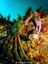Kelp crab in Puget Sound by John Di Croce