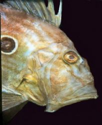 """""""Johnny"""" John Dory taken at Goat Island Marine Reserve. by Alexander Stammers"""