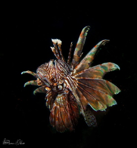 Lion fish may be the new Kings of the Caribbean, but in t... by Steven Miller