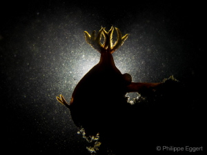 Nudi -LOVE due to a lot of sediments it was not able to ... by Philippe Eggert