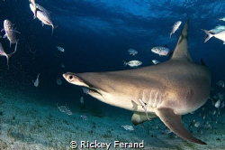 Great Hammerhead Sharks Photography Trip Jan 2017 by Rickey Ferand