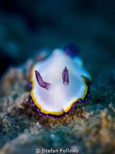 Bonny  Nudibranch - Chromodoris preciosa  Chalolum, T... by Stefan Follows