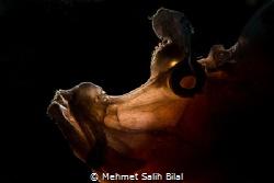 Rhinopia eschmeyeri. Thanks to Dharma for snooted backlight. by Mehmet Salih Bilal