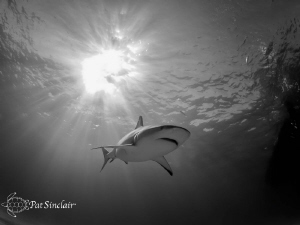 Reef shark going over me with the sun ball right behind it. by Patricia Sinclair