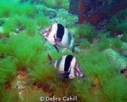Magpie Perch Rapid Bay Jetty Rapid Bay South Australia   by Debra Cahill