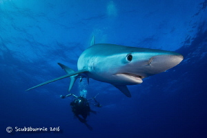 Blue shark in Azores by Tracey Jennings